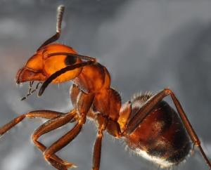 Thatch-mound Ant