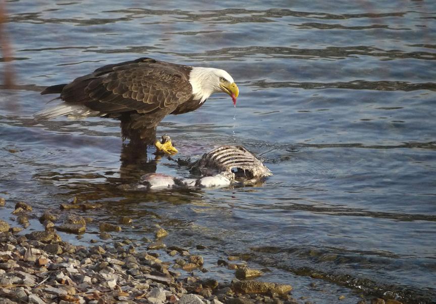 Bald Eagle Eating Deer Eagle Eating Deer Carcass