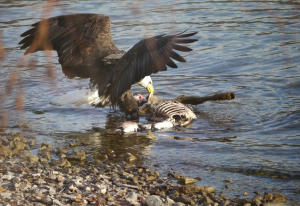 Eagle eating deer carcass