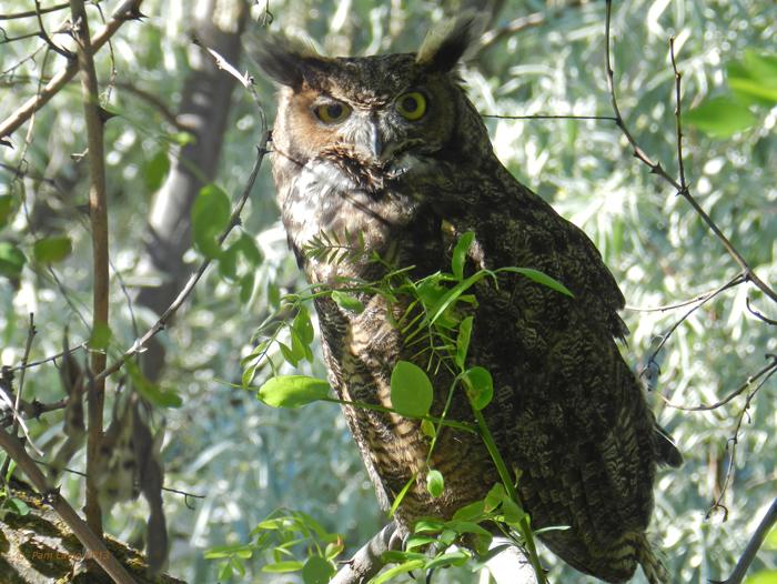 Great Horned Owl in Winter