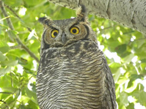 Great Horned Owl chick in October