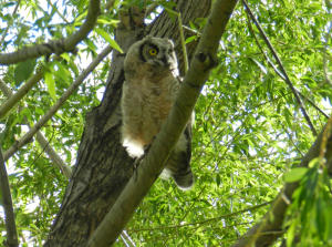 Great Horned Owl chicks in May or June