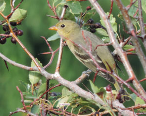Western Tanager juvenile