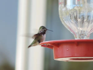 Calliope Hummingbird male