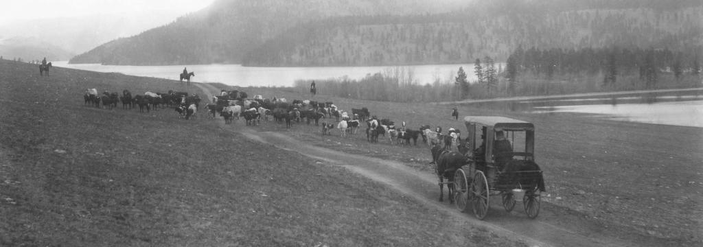 Cattle Drive east of Duck Lake