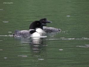 Common Loon pair