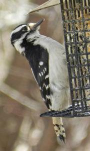 Downy Woodpecker, female