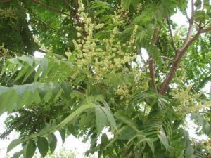 Tree of Heaven flower