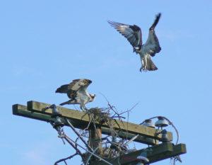 Pair of Osprey building a nest