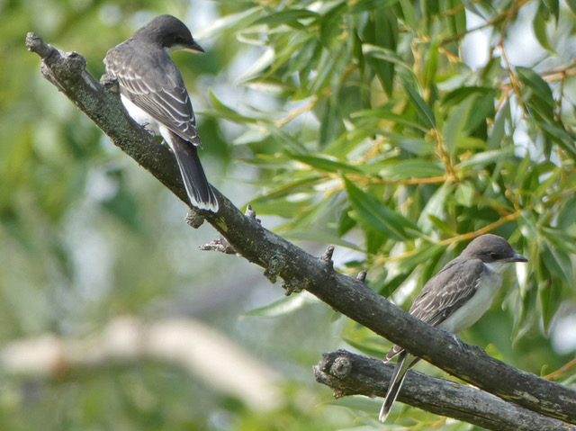 Two juvenile Eastern Kingbirds in late summer