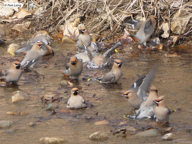 Bohemian Waxwings bathing