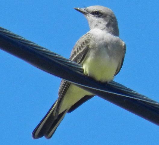 Western Kingbird juvenile in late summer