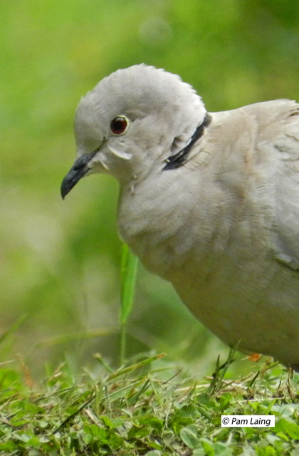 Eurasian Collared Dove Close