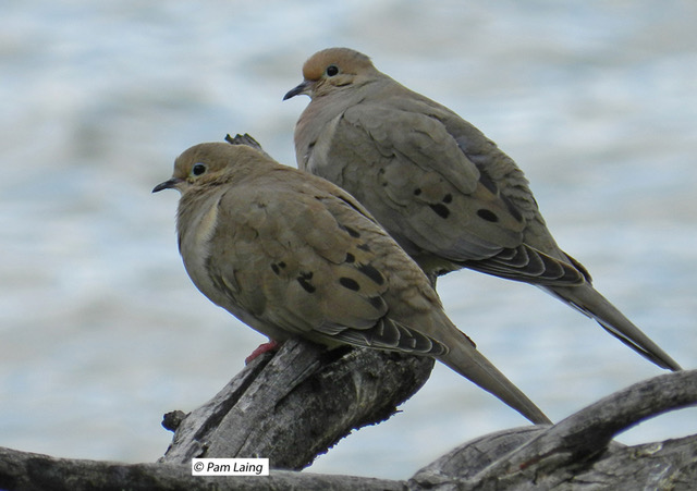 Mourning Doves Pair