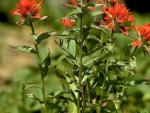 Common Red Indian Paintbrush; Photograph by Joan Burbridge.