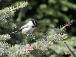 Mountain Chickadee.jpg