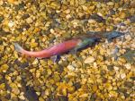 Stream-spawning kokanee. Probably a three year old brownish coloured female and a four year old reddish coloured male.